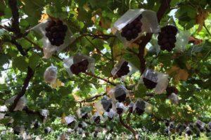 Aoki果樹園のブドウ園