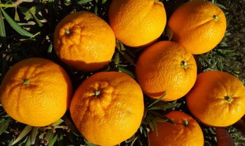 デコポンとオレンジ
